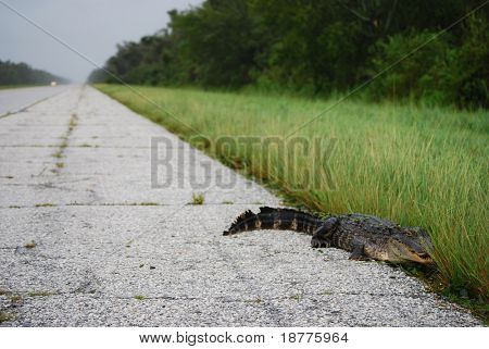 NEW ORLEANS - SEPT 1: An alligator crawls along an empty freeway during a curfew imposed because of Hurricane Gustav on September 1, 2008 near New Orleans.
