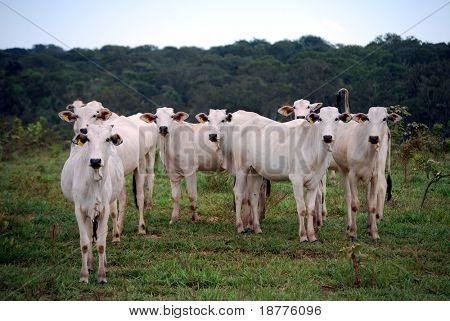 Cebú, el ganado predominante en Brasil, en un Rancho recientemente registrado en el borde de la Amazonia rainfor