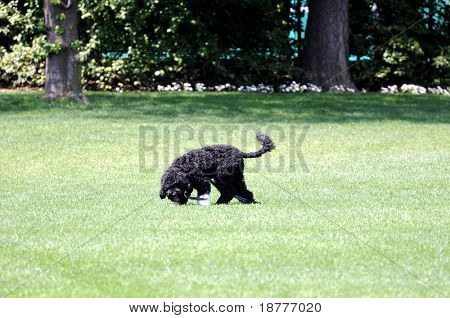 WASHINGTON - APRIL 24: First dog, Bo, walks freely on the South Lawn of the White House on April 24, 2009 in Washington. Bo, a Portuguese water dog, was adopted by the president's family on April 14, 2009.