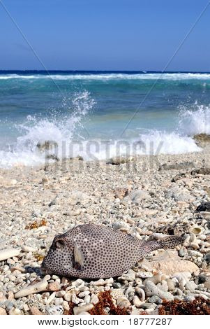 Spotted trunkfish washed ashore on a tropical beach