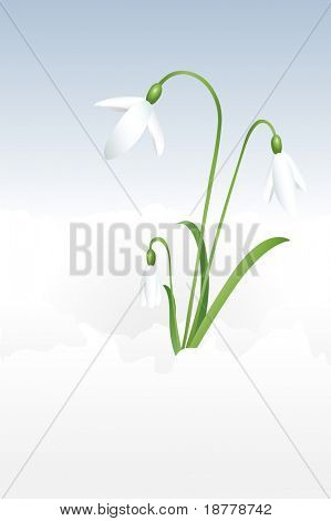 A vector illustration of snowdrops blossoming through the snow.