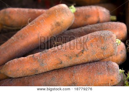 A closeup of freshly harvested carrots still covered in soil