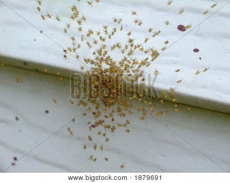 Baby Spiders Macro