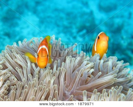 Maldivian Anemonefish