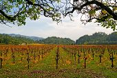Vineyard in Napa Valley in Autumn at sunset