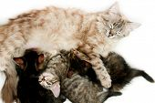 stock photo of teats  - Cat nursing her kittens - JPG
