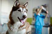 Sick husky dog on background of vet working poster