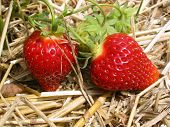 stock photo of strawberry plant  - Close - JPG