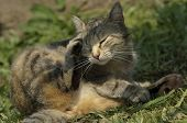 Domestic Cat Scratching Itself Under The Sun poster