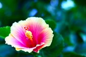 stock photo of hibiscus flower  - tropical pink and yellow hibiscus early morning - JPG