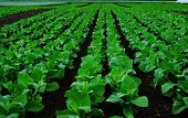 image of tobacco leaf  - Rows of tobacco plants on a field - JPG
