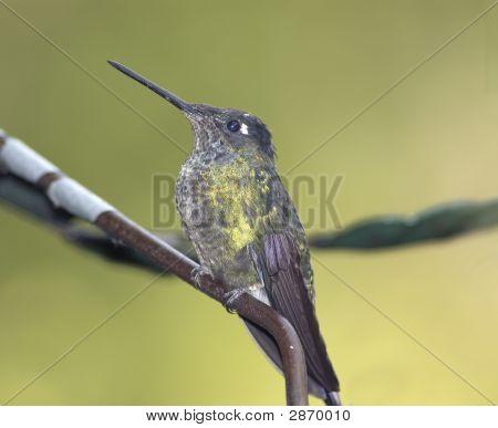 Bird-Hummingbird