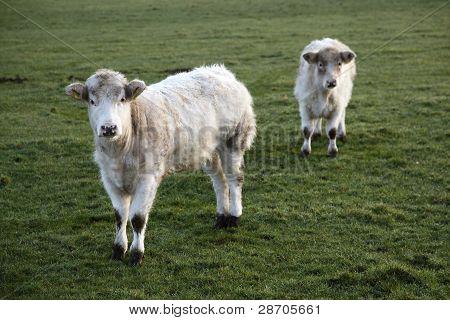 dos terneros blancos