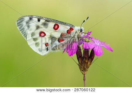 Apollo Buterfly Parnassius Apollo In