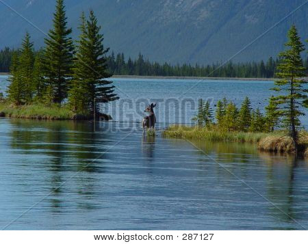 Mule Deer In Lake Shallows