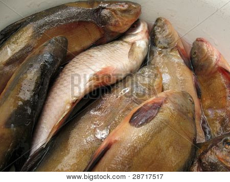 Fresh water fish in a white bowl
