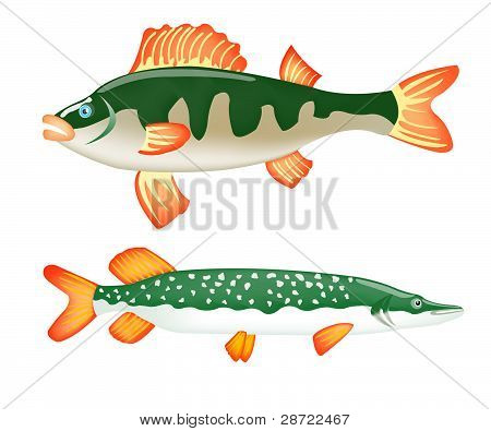 Two Freshwater Fish Perch And Pike