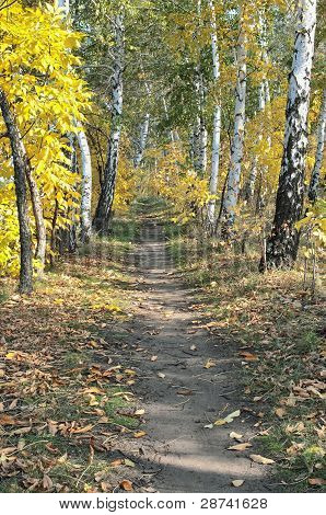 Trail In Autumn Birch Forest