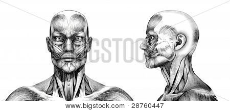 Muscles Of The Head - Pencil Drawing Style