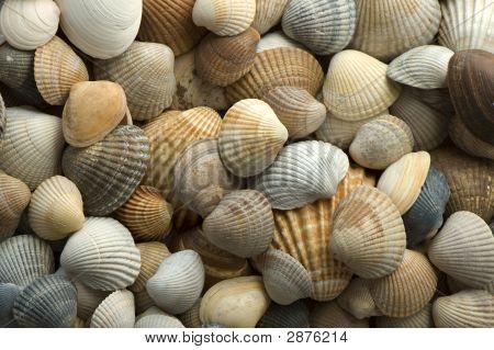 Sea Shell 4