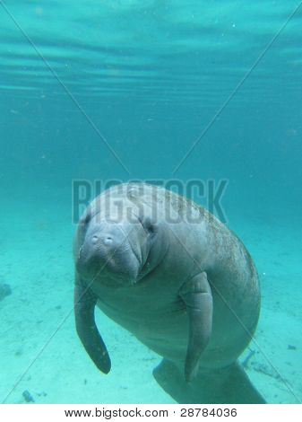 Seacow oder Seekuh Schwimmen Undereater in Crystal River, florida
