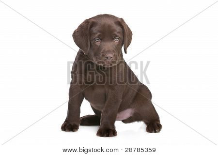 Cachorro Labrador chocolate