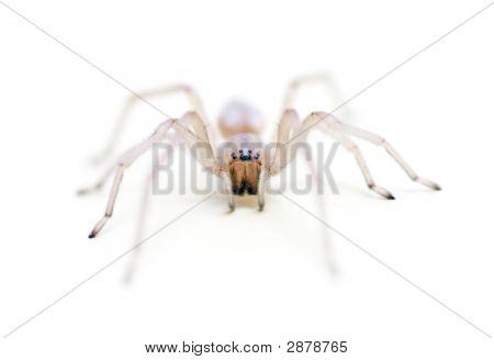 Translucent Long Legged Sac Spider Headshot
