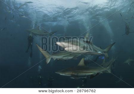Shark Sequence