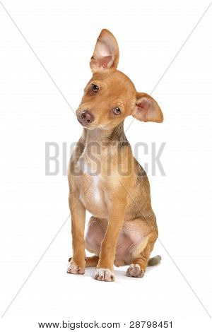 Mixed Breed Chihuahua And Miniature Pincher Dog