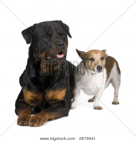 Rottweiler (3 Years) And A Jack Russel