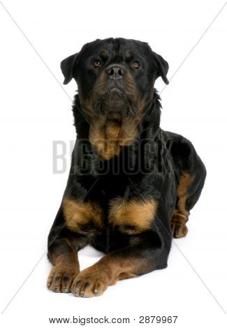 Rottweiler (3 Years)
