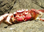 image of crustations  - A red crab posing on the reef in sunny bright day - JPG