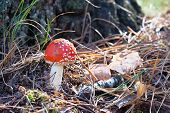 Amanita Muscaria. Red Poisonous Fly Agaric Mushroom In Forest Among Dry Leaves. Psychoactive And Med poster
