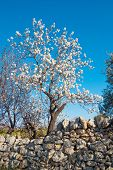 Beautiful White Almond Flowers On Almond Tree Branch In Spring Italian Garden, Puglia. First Green F poster