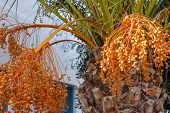 Flowering Date Palm Tree, Date Palm Fruits, Orange Date Palm Clusters In The Garden. poster
