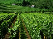 stock photo of moselle  - moselle valley vineyards in the boder area between Germany France and Luxembourg - JPG