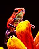 red strawberry poison dart frog Costa rica and Nicaragua. Beautiful poisonous animal from the centra poster