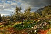 foto of olive trees  - Image shows an olive tree filed in Messinia southern Greece after a rain storm - JPG