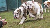 Cute Puppy Of English Bulldog Happily Run poster