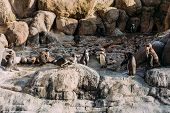 Group Of Pinguins On Rocks In Zoological Park, Barcelona, Spain poster
