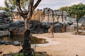 Funny Giraff Walking Near Pond In Zoological Park, Barcelona, Spain poster