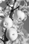 Gardening And Harvesting. Organic Apple Crops Farm Or Garden. Autumn Apples Harvesting Season. Rich  poster
