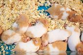 Cute Innocent Baby Brown And White Syrian Or Golden Hamsters Sleeping On Sawdust Material Bedding. P poster