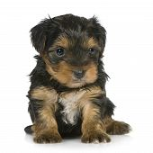 Yorkshire Terrier Puppies (1 Month)