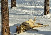 Domestic Wolf In The Park In Winter. Wolf On A Chain. Wolf Lies In The Snow. poster