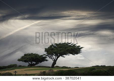 Windblown pine trees under moody sky