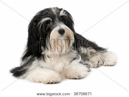Cute Lying Bichon Havanese Puppy Dog