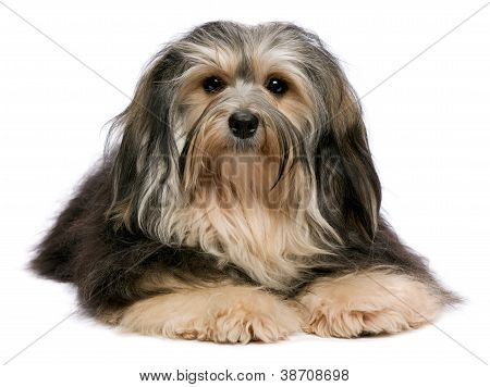 Cute Lying Tricolor Havanese Dog Is Looking To Camera