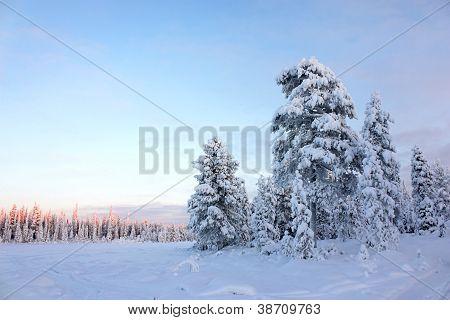 Snowy Field Pine Trees Under Blue Sky
