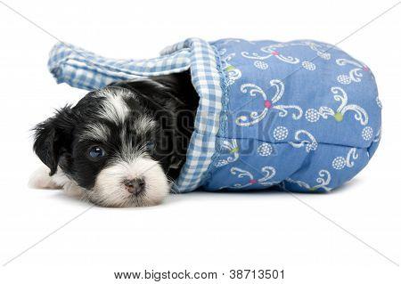 A Cute Havanese Puppy in a Basket